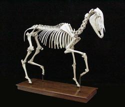 Horse skeleton, mounted