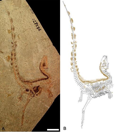 sinosauropteryx fossil dinosaur