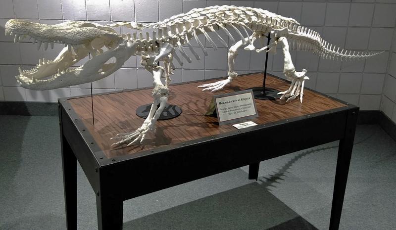 American alligator skeleton mount