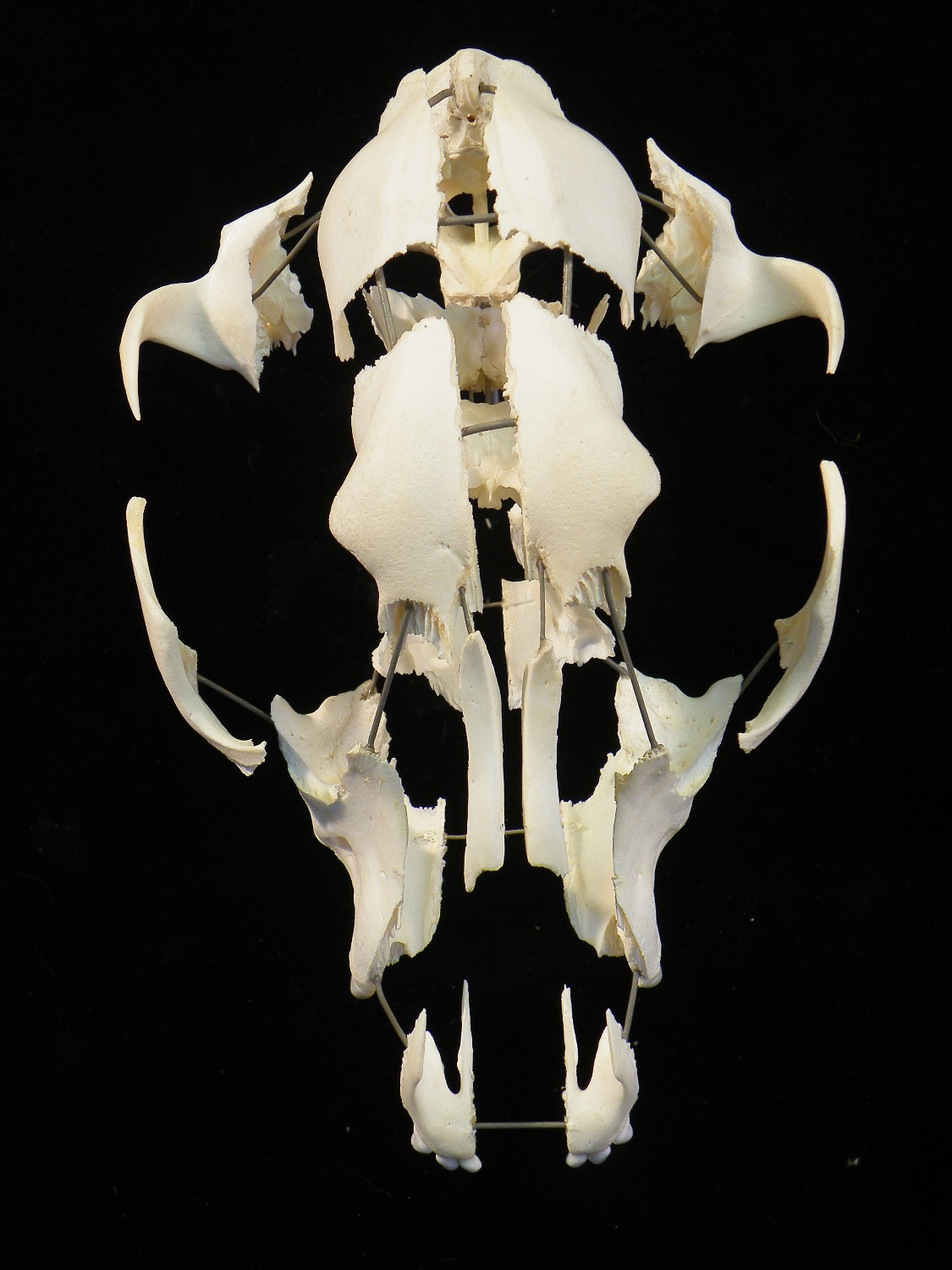 Dog skull, exploded mount