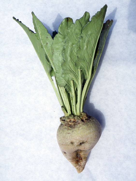 Sugar beet, touchable model