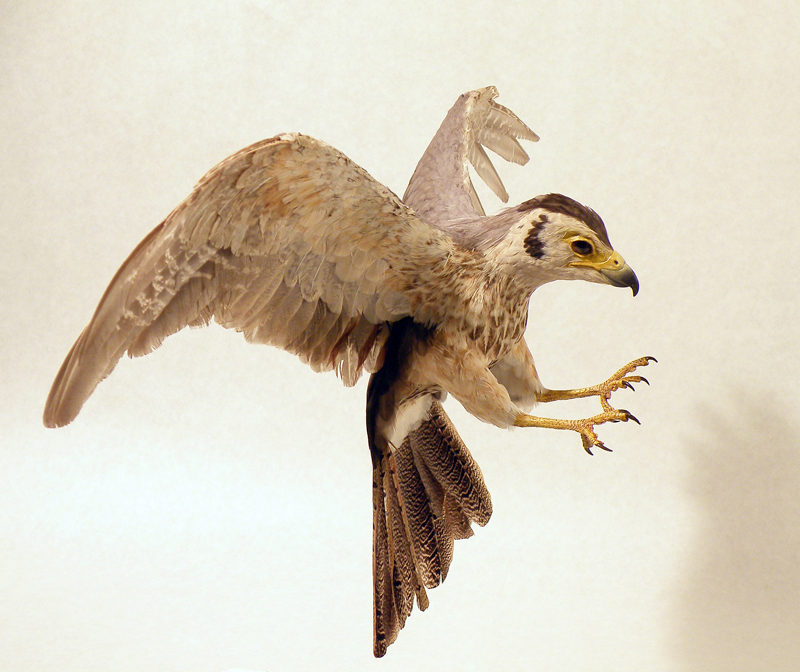 Primitive raptor reconstruction