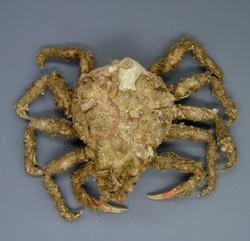 Masking crab