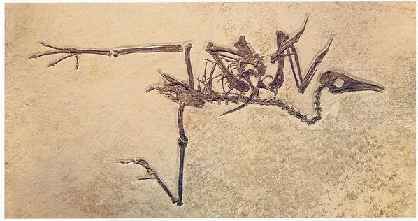 bird fossil pseudocrypturus cercanaxius