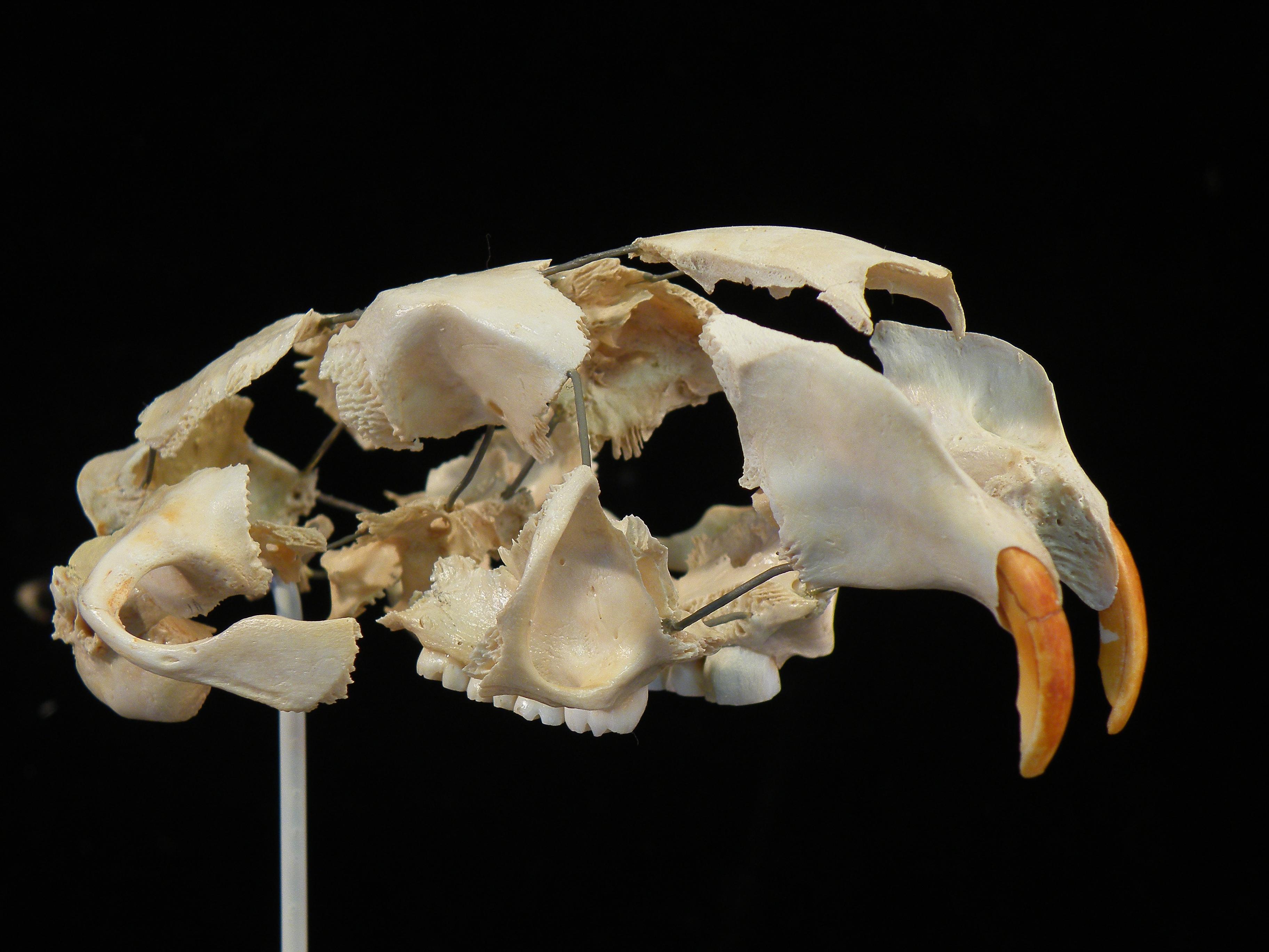 Beaver skull, exploded mount
