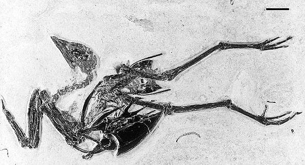 bird fossil gallinuloides wyomingensis