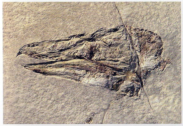 extinct bird raptor fossil