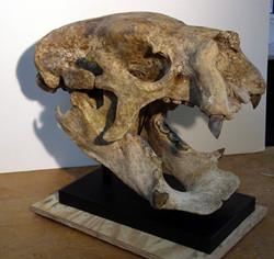 Lestodon sloth, restore & mount
