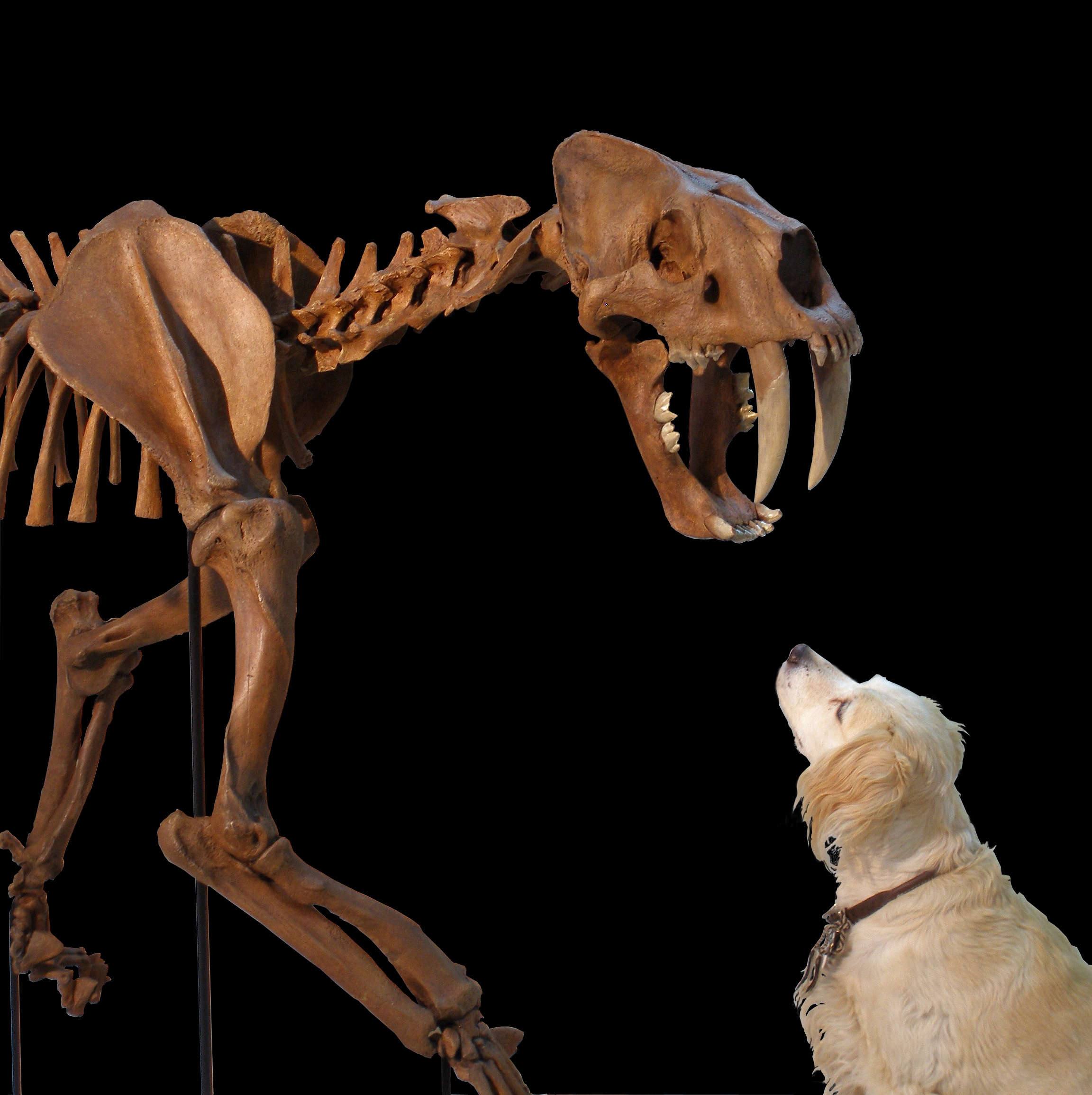 Smilodon populator with Canis lupus familiarus