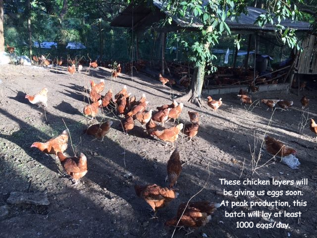 Our Chickens don't have to cross a road to get their food