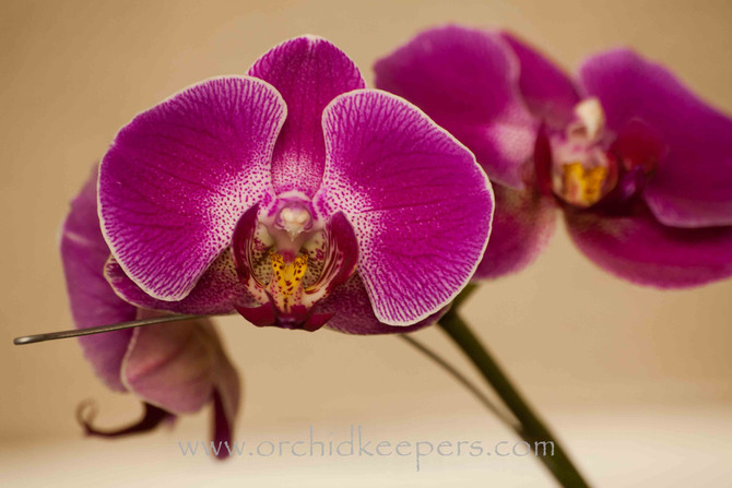 Caring for Phalaenopsis Orchids