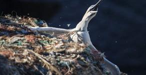 Plastic pollution: RSPB Grassholm Island 'living hell' for birds