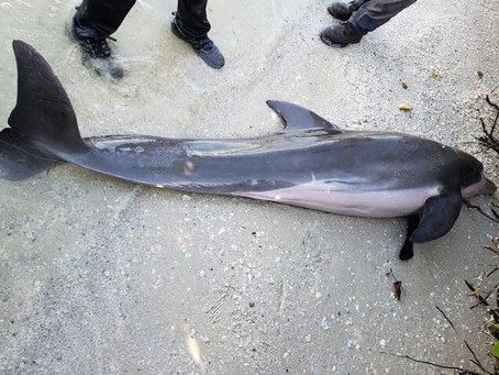 Dead dolphin found in Florida with plastic shower hose in its stomach