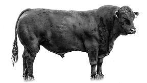 GSAC 908; limousin bull