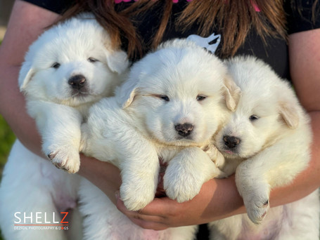 Great Pyrenees & Frenchie Puppies For Sale
