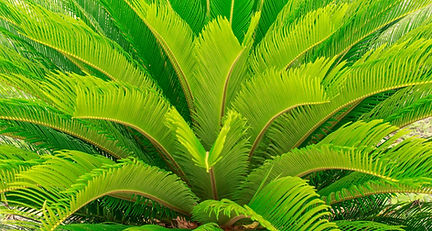 sago-palm-common-plant-toxic-to-dogs.jpg