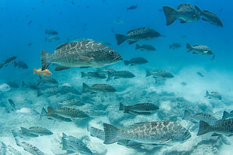 school of grouper