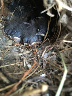 Mama wren builds a nest in the shop