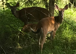 Many fawns this year