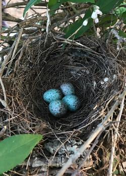 Mockingbird babies are coming!