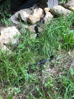 Really long black snake