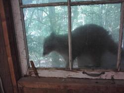 Curious raccoon