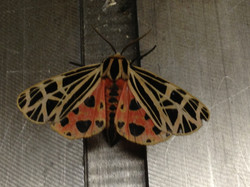 Beautiful moth in the shop