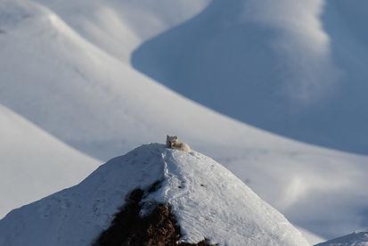 Arctic Fox #1