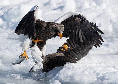 Steller's Sea Eagle #1