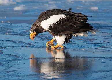 Steler's Sea Eagle #2