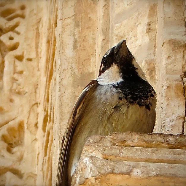 Spanish Bird