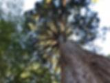 DPTraining Rising Trees Great Redwood, N
