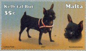 Bobtails in Chihuahuas