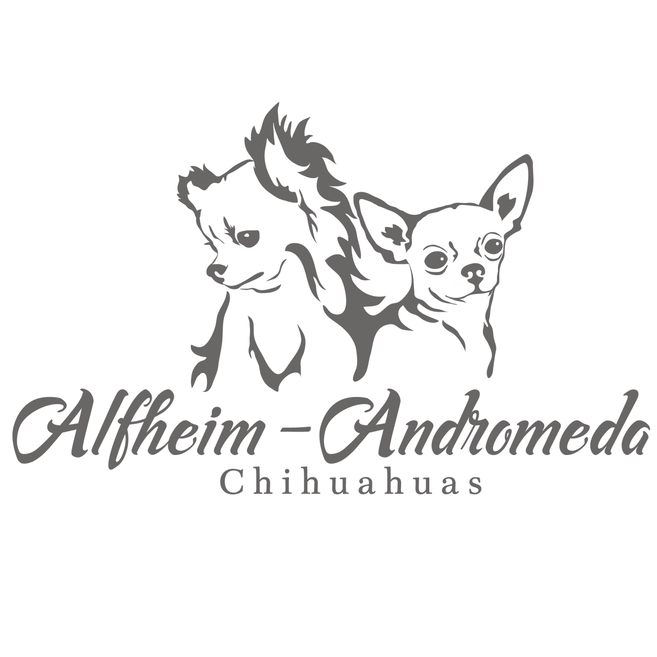 Chihuahuas for sale | New York | Alfheim - Andromeda Chihuahuas