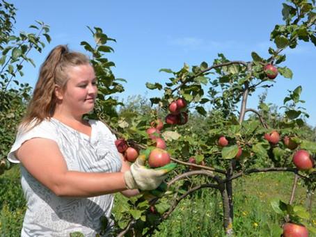 Сбор яблок!!! Литва
