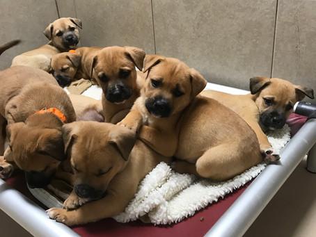 We have Boxer/Shepherd Puppies!