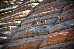 Desert Big Horn Sheep in Zion