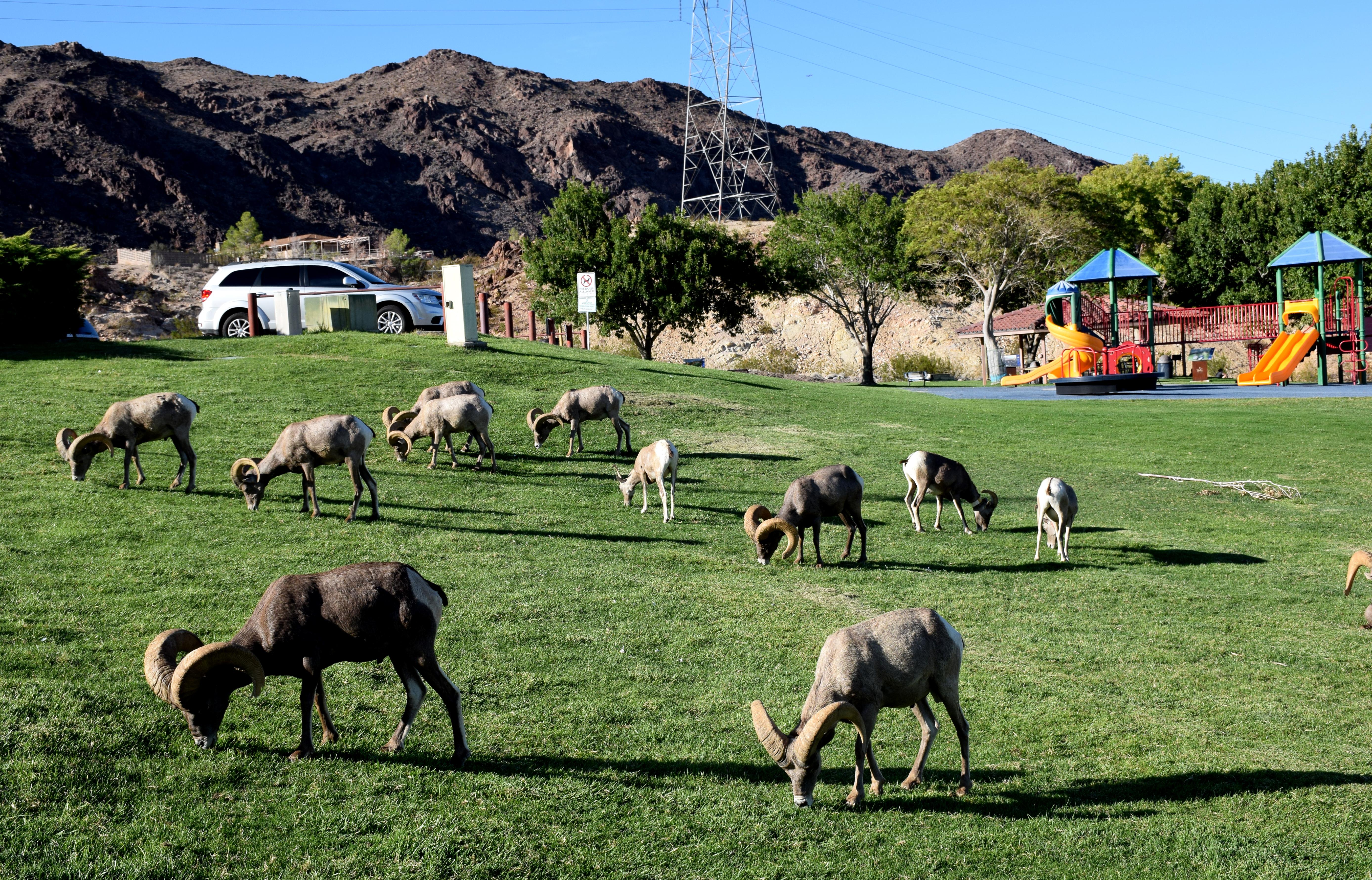 Big Horn Sheep at local park