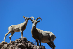 Mother and young Big Horn Sheep