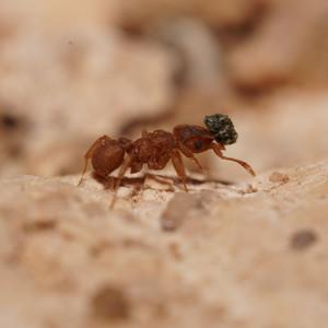 Cyphomymrex weeleri worker carrying caterpillar frass