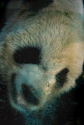 Lele - Memphis Zoo