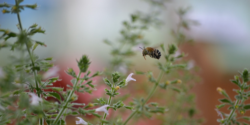 Intro to Native Bees