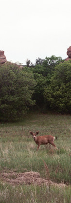 Colorado Foothills Deer