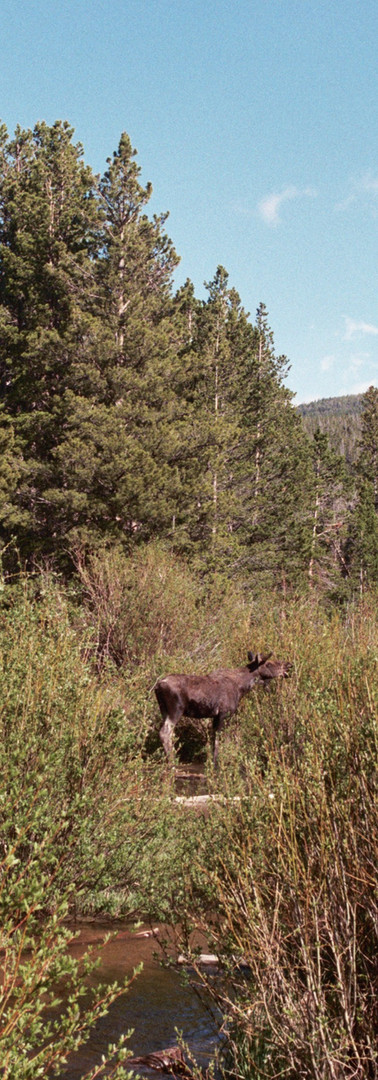 Moose at Rocky Mountain National Park