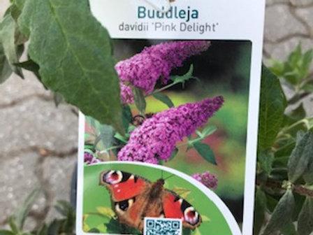 Schmetterlings-Flieder