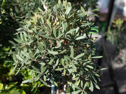 Olive Stämmchen 80 cm