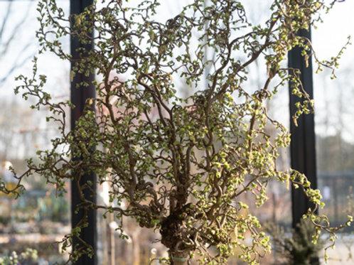 Korkenzieherhasel Stämmchen  180 cm