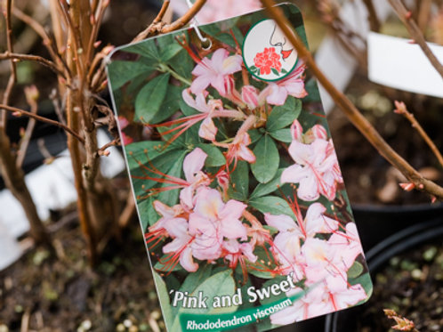 """Rhododendron viscosum """"Pink and Sweet"""""""