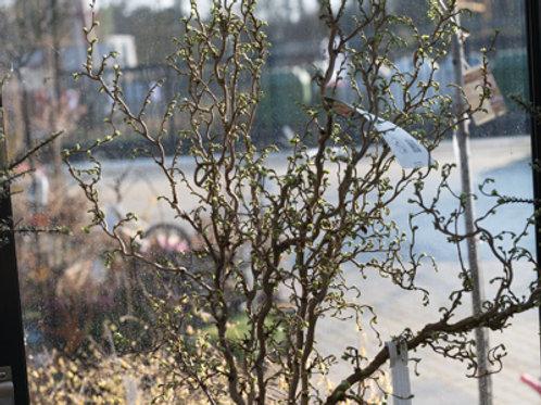 Korkenzieherhasel Busch