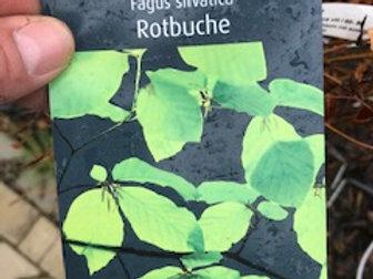 Rotbuche Heckenware